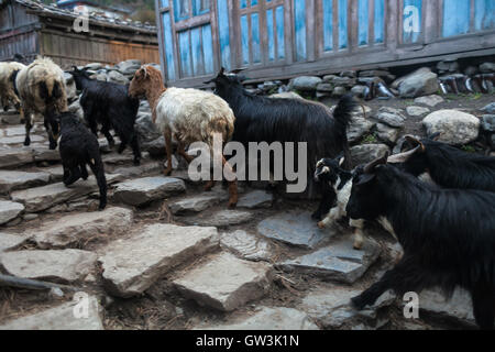 Caravan Animal Goats Crossing Village. Horizontal Photo. - Stock Image