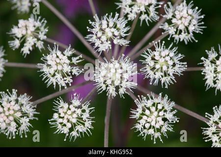 Detail of flower head of Hemlock Water Dropwort - Stock Image