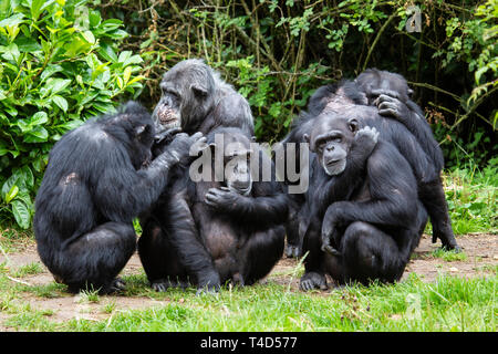 A group of Common Chimpanzees Pan troglodytes in a huddle sitting on grass grooming and interacting with one another - Stock Image