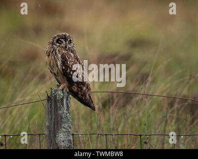 A wild Short Eared Owl (Asio Flammeus) endures the rain perched on wooden fence post, North Uist, Outer Hebrides, Scotland - Stock Image