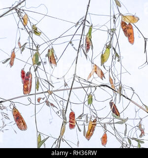 Pods on twigs - Stock Image