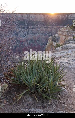 Sunset and agave, probably Agave utahensis ssp. kaibabensis, at the south rim of Grand Canyon, Arizona, USA - Stock Image