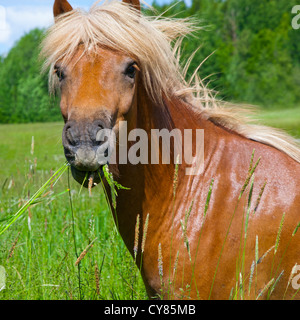 Head of chestnut Icelandic horse with grass in its mouth - Stock Image