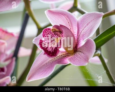 ORCHID Cymbidium Pink Ice 'Fosgrove' - Stock Image