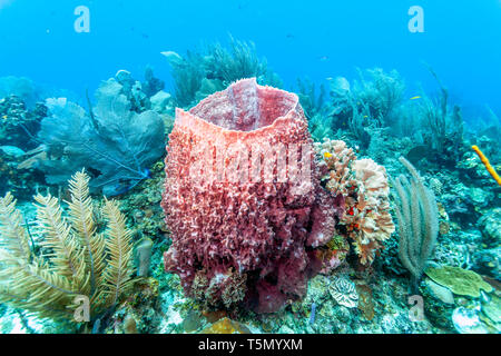 Coral reef off  the coast of the island of Roatan - Stock Image