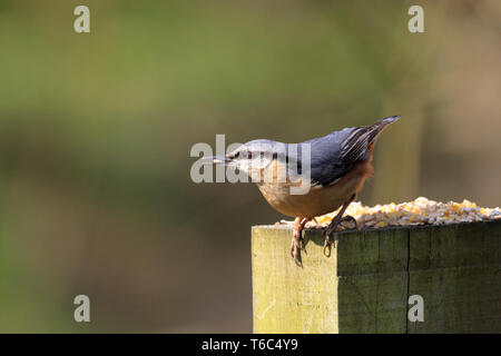Nuthatch, Sitta europaea feeding on bird seed placed on a wooden post, Worsbrough Country Park, Barnsley, South Yorkshire, England, UK. - Stock Image