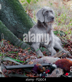 A Slovakian Rough Haired Pointer, sat by a tree in woodland with a cock pheasant and a shotgun on a winters afternoon during a pheasant shoot - Stock Image