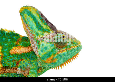 close view of a beautiful  green colorful  chamaeleo calyptratus head looking up. Species also called veiled, cone-head or yemen chameleon. - Stock Image