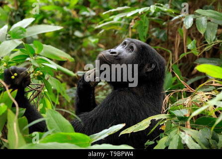 Mountain Gorilla (Gorilla beringei beringei) Scratching Its Chin and Looking Upwards. Bwindi Impenetrable National Park, Uganda - Stock Image