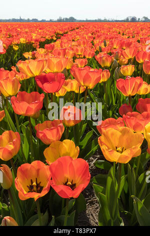 Lisse, Holland - April 18, 2019: Traditional Dutch tulip field with rows of red and yellow flowers - Stock Image