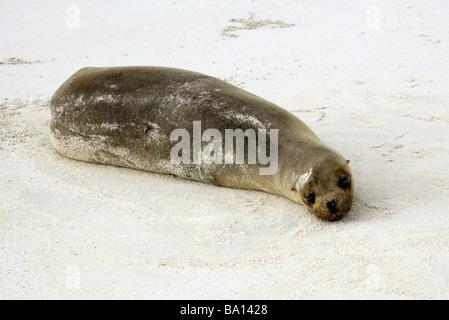 Galapagos Sea Lion, Zalophus wollebaeki, Cerro Brujo Beach, San Cristobal Island, Galapagos Archipelago - Stock Image