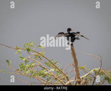 reed cormorant (Microcarbo africanus), also known as the long-tailed cormorant, in the swamps of Mabamba, Lake Victoria, Uganda - Stock Image