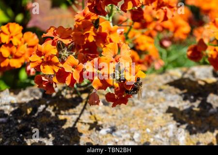 A western or european honey bee apis mellifera visiting a bright orange coloured wall flower of the erysimum genus in spring sunlight - Stock Image