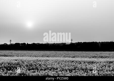 Sunset over cultivated fields with flowers - Stock Image