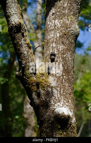 Daldinia concentrica saprophytic  fungus, King Alfreds Cakes, Cramp Ball, Coal Fungusi on standing deadwood, Ash tree, Wales, UK - Stock Image