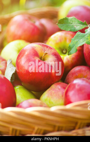 Organic apples in basket in summer grass. Fresh apples in nature - Stock Image
