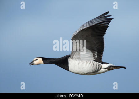A Barnacle Goose in flight during its winter migration from Svalbard to the Solway Firth, Scotland - Stock Image