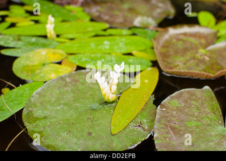 Lily pads afloat on the pond at Koi Gardens, Spokane, Washington State, USA. - Stock Image