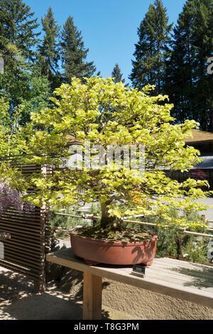 Fagus Sylvatica - European Beech - bonsai age 40 years, at Portland Japanese Garden in Portland, Oregon, USA. - Stock Image