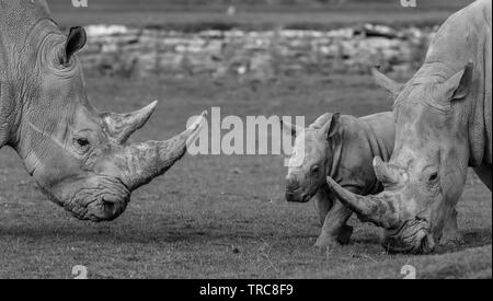 Detailed black & white close-up photograph of Southern White rhinos (Ceratotherium simum) outside at UK wildlife park - cute baby rhino by parent. - Stock Image
