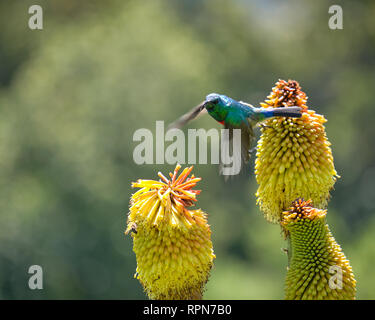Southern Double collared Sunbird flying off a red hot poker in bloom.  Blurry movement motion - Stock Image