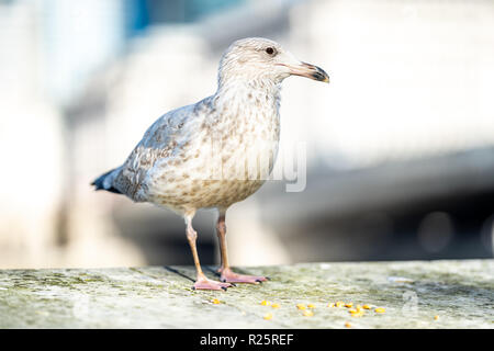 Seagull portrait with natural bokeh background. Close up view of white bird seagull sitting by the wall on a bright sunny day. Shallow dept of field - Stock Image