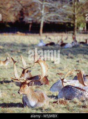 herd of deer in a park - Stock Image