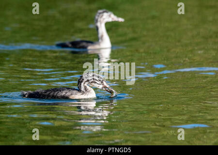 Juvenile Great Crested Grebe (podiceps cristatus) with a caught fish in beak - Stock Image