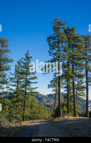 Morning light and shadows shine on tall green pine trees. - Stock Image