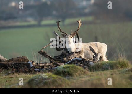 Fallow Deer, Berkeley Deer Park, Gloucestershire - Stock Image