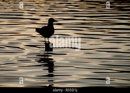 Dusk twilight seagull silhouette - Stock Image