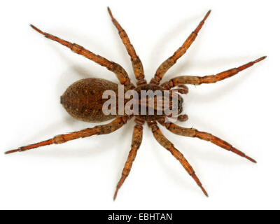 Female Wolf spider (Trochosa terricola) on white background. Wolf spiders are part of the family Lycosidae. - Stock Image