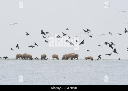 Stirlingshire, Scotland, UK. 29th Jan, 2019. UK weather - gulls, rooks and jackdaws taking advantage of food put out for sheep this morning as the grass is once again covered by snow Credit: Kay Roxby/Alamy Live News - Stock Image
