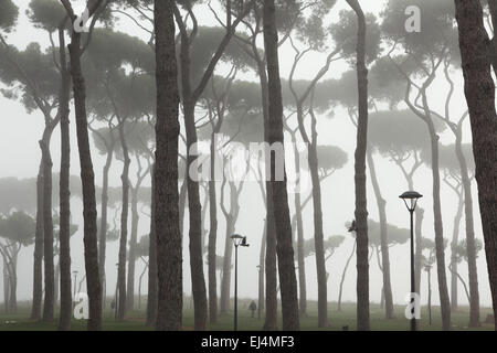 Morning fog covers stone pines (Pinus pinea) in the park La Pineta Sacchetti in Rome, Italy. - Stock Image