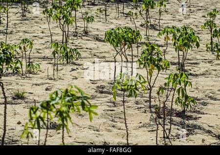 Cassava plants growing in sandy soil on the Turtle Islands, Sierra Leone. - Stock Image