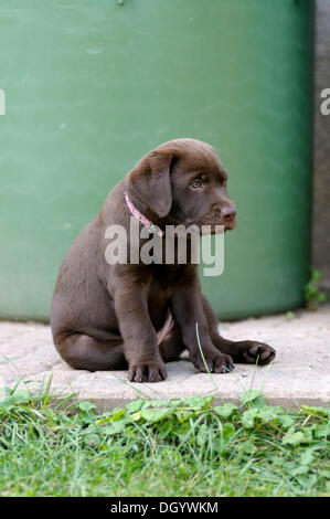 Brown Labrador Retriever, puppy sitting in front of a barrel - Stock Image