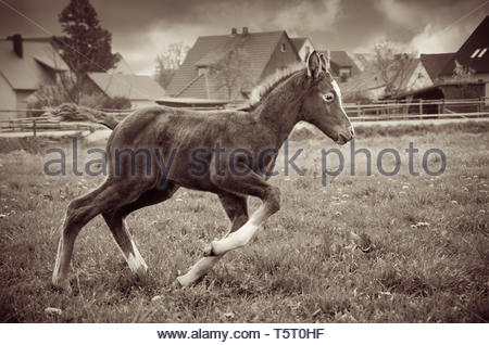 A foal explores the paddock - Stock Image