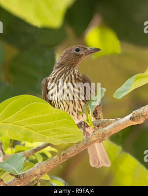 Female Yellow Figbird, Northern Race (Sphecotheres flaviventris) perched on a branch, Lake Tinaroo, Atherton Tableland,  Far North Queensland, FNQ, QL - Stock Image