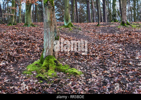 Krumme Lanke , Berlin, Moss covered trees and carpet of brown leaves in Woodland in Winter - Stock Image