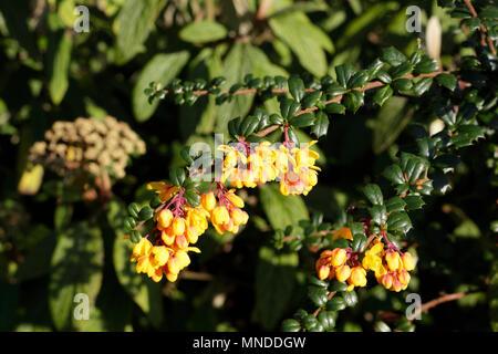 Springtime bloom of yellow flowers - Stock Image