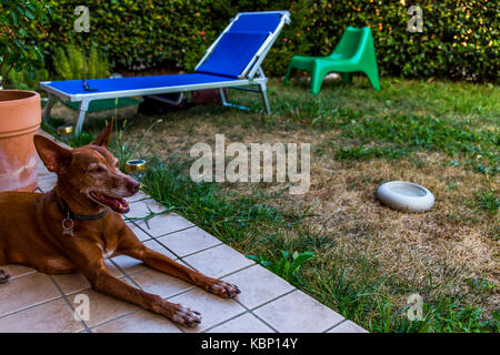 An Andalusian Hound (Canis lupus familiaris) laying on tiles in a garden with grass and sunbed in the background. - Stock Image