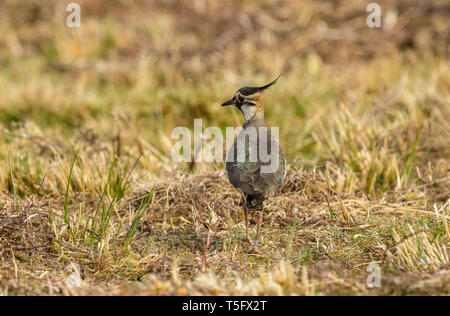 Adult lapwing in the Yorkshire Dales, England. In natural moorland habitat in Springtime. Iridescent plumage and splendid crest. Landscape. Copy space - Stock Image