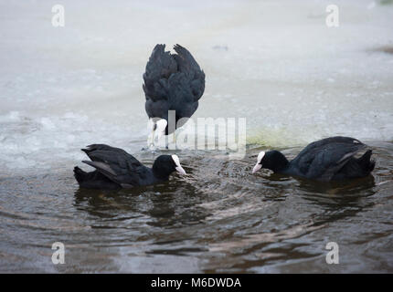 Eurasian Coots, (Fulica atra), in territorial display during winter on frozen lake in Regents Park, London, United - Stock Image