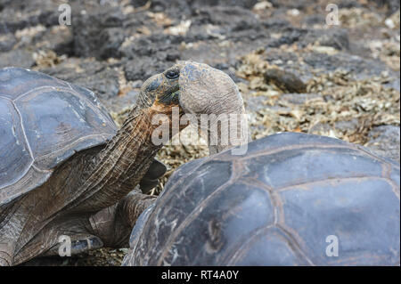 Close-up of two tortoises (Chelonoidis niger) who look like they are about to kiss. Galapagos Islands, Ecuador - Stock Image