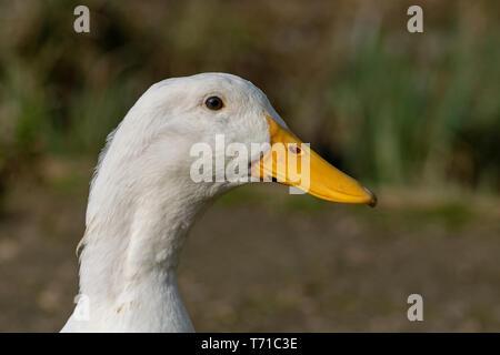 Portrait of a white heavy Pekin Duck - Stock Image