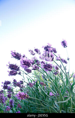 Lavender plant in full bloom in front of a blue sky, background, symbol for harmony and serenity, copy space, copyspace - Stock Image