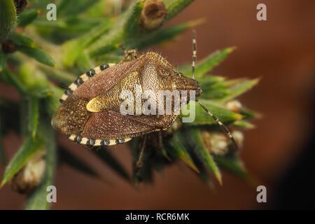 Overwintering Hairy Shieldbug (Dolycoris baccarum) perched on gorse. Tipperary, Ireland - Stock Image