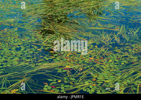Fronds of reeds on the surface of a lake, swirling with the current. - Stock Image