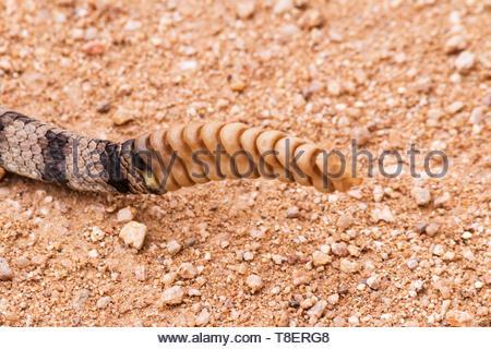 Mohave Rattlesnake, Crotalus scutulatus, Mojave Rattlesnake, detail of rattle,  in Arizona USA - Stock Image