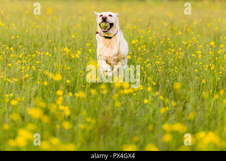 Yellow labrador fetching ball in a field of buttercups. - Stock Image